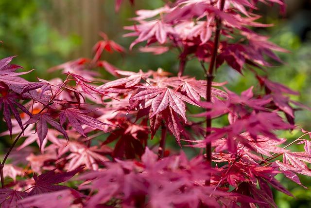 Growing Japanese Maples - Acer Palmatum